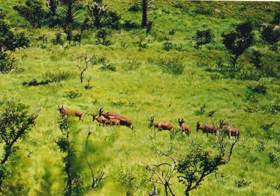 Bubale (Alcelaphus buselaphus) dans la Réserve de Faune d'Abokouamékro